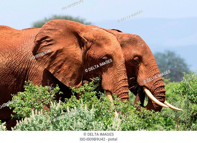 Two African elephants (Loxodonta africana) walking in bush, Tsavo, Kenya