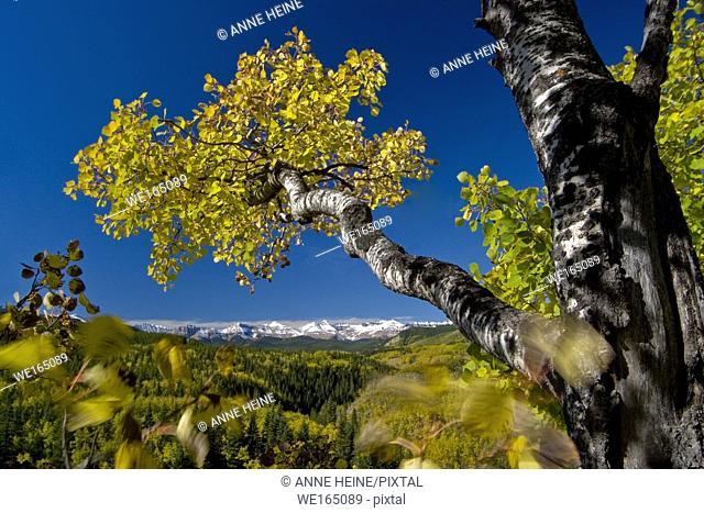 Aspen tree in autumn in Kananaskis Country, Sheep Valley National Park. Looking towards Rocky Mountains covered in snow. Alberta, Canada