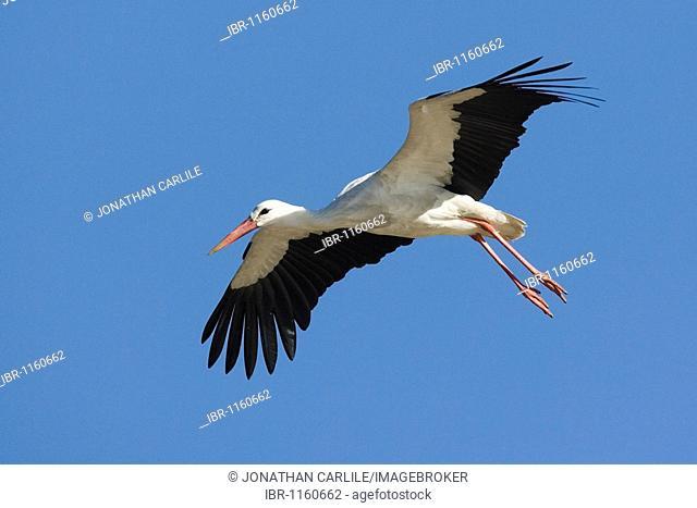 European Stork (Ciconia ciconia ), Lake Ndutu, Serengeti, Tanzania, Africa