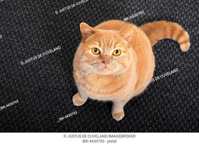 British short-hair cat sitting on carpet and looking up, Schleswig-Holstein, Germany