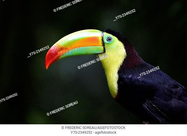 Colorful Pet Toucan Bird in Copan, Honduras, Central America