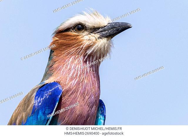 Kenya, Masai-Mara game reserve, Lilac-breasted roller (Coriacas caudata)