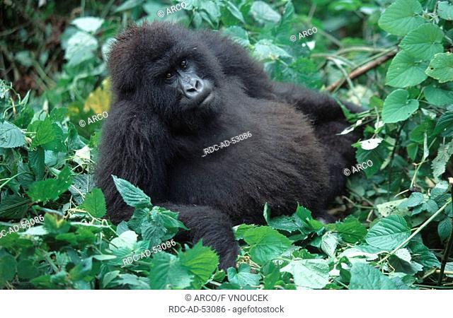 Mountain Gorilla female Zaire Congo Gorilla gorilla beringei