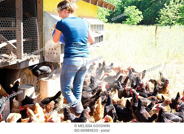 Woman feeding free range golden comet and black star hens on organic farm