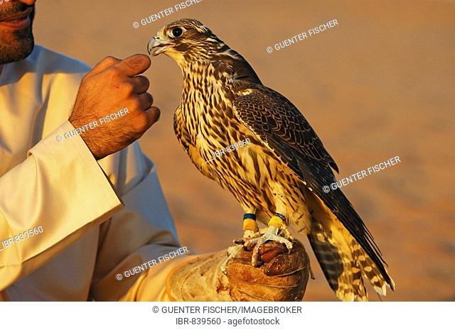 Training a falcon, Dubai, United Arab Emirates, Asia