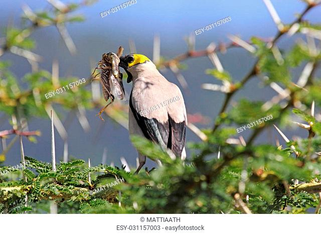 An african bird known as wattled starling, Creatophora cinerea, on an acacia tree with a grasshopper in the beak in Serengeti National Park, Tanzania