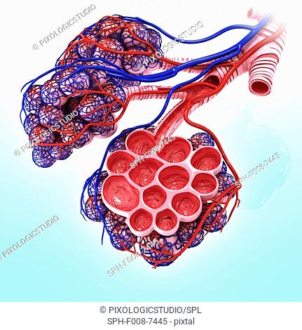 Human alveoli, cut-away computer artwork