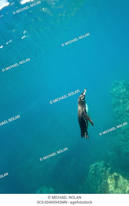 Adult Galapagos penguin Spheniscus mendiculus foraging underwater on small baitfish in the Galapagos Island Group, Ecuador This is the only species of penguin...