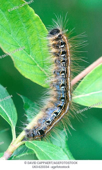 Eastern tent caterpillar, Malacosoma americanum. Michigan, USA