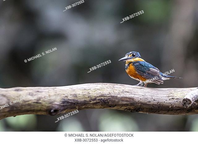 Adult American Pygmy Kingfisher, Chloroceryle aenea, Nauta Caño, Upper Amazon River Basin, Loreto, Peru
