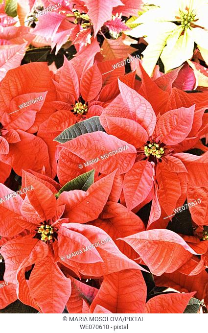 Poinsettia. Euphorbia pulcherrima. November 2006. Maryland, USA