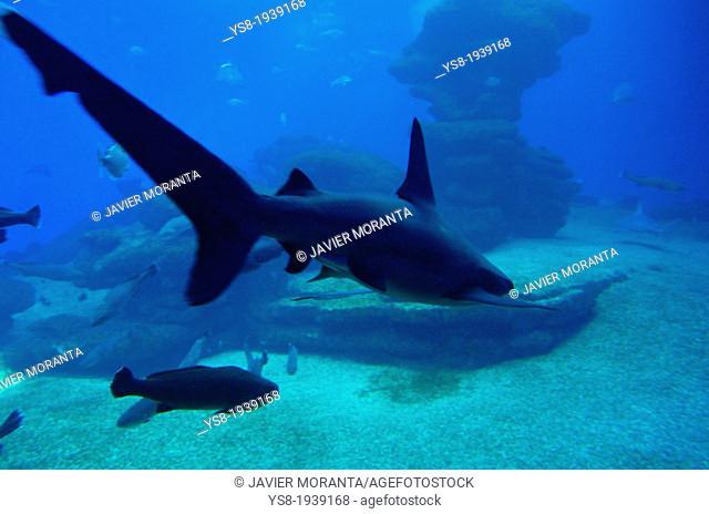 Shark in Aquarium, Majorca, Balearic Islands, Spain