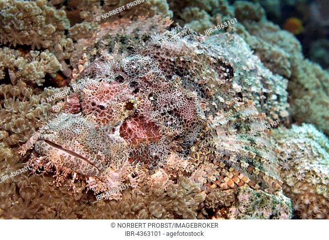 Bearded scorpionfish (Scorpaenopsis barbata), camouflaged amongst corals, Great Barrier Reef, Queensland, Cairns, Pacific Ocean, Australia