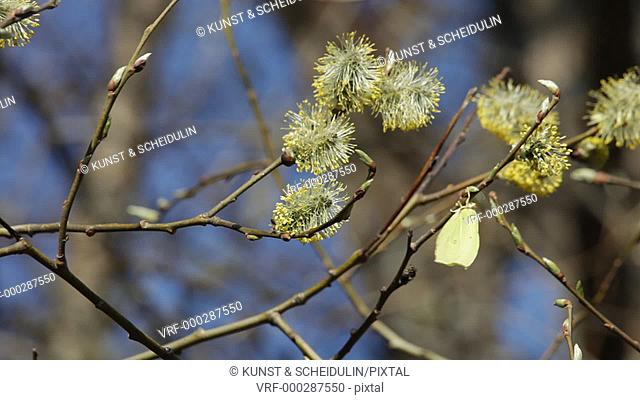 A Common Brimstone (Gonepteryx rhamni) is drinkring nectar from willow catkins on a fine spring day. Noraström, Västernorrlands Län, Sweden