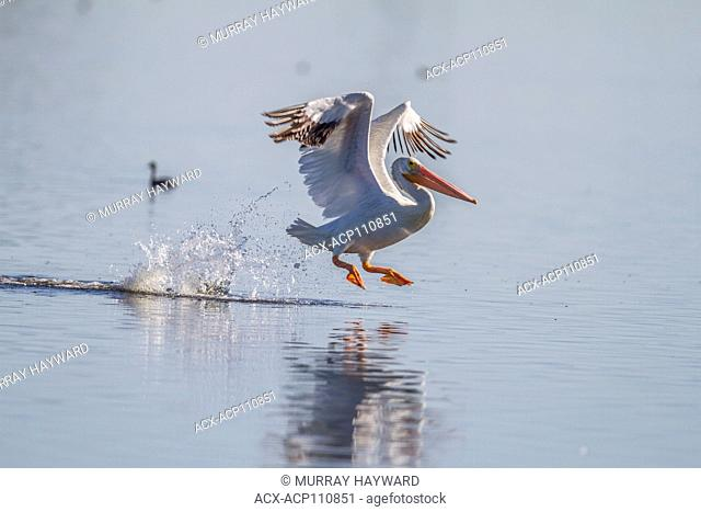 American White Pelician (Pelecanus erythrorhynchos) Caught in flight, with wings spread and set, coming in for a landing and touchdown, Weed Lake, Alberta