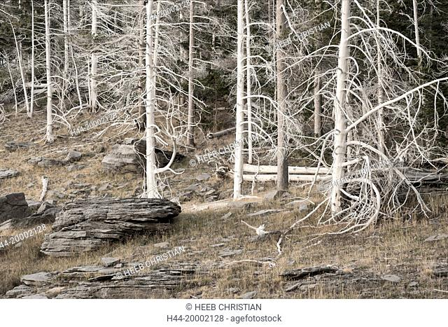 Wyoming, Yellowstone, National Park, UNESCO, World Heritage, Upper geyser basin ghost forest