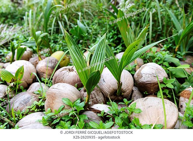 A pile of coconuts sprouting, Koh Kood island, Ko Kut district in Trat Province, Thailand, Asia