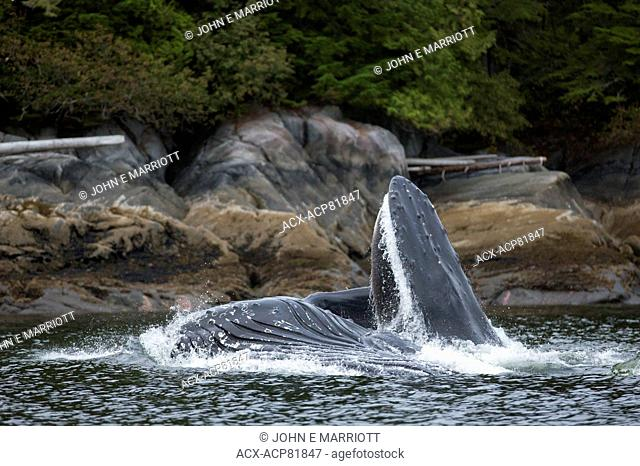 Humpback whale, BC, Canada