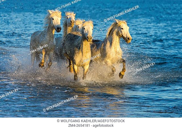 A group of Camargue horses in evening light is running through the shallow water along a beach on the Mediterranean Sea in the Camargue in southern France