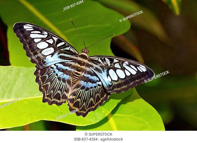 Blue Clipper Parthenos sylvia butterfly on a green leaf, Malaysia