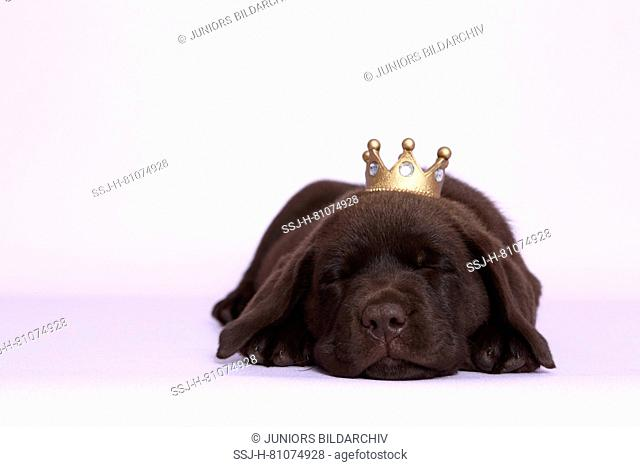 Labrador Retriever, Chocolate Labrador. Brown puppiy (7 weeks old) sleeping, wearing a crown on its head. Studio picture against a purple background
