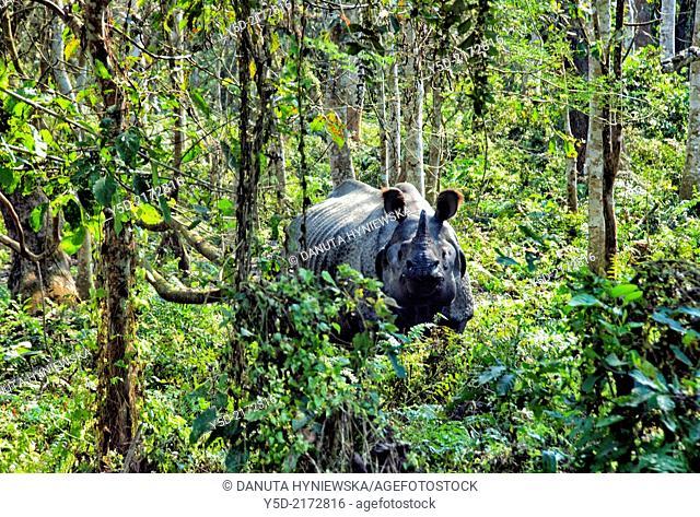 One-horned Rhino (Rhinoceros unicornis). Chitwan National Park (CNP), Nepal, Asia
