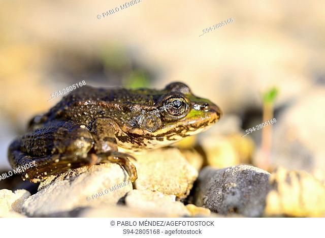 "Albanian common frog """"Pelophylax sqhiperica"""" on the edge of Rijeka Crnovika river, Rijeka Crnovika, Montenegro"