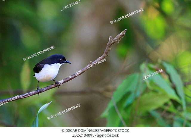 Dark-backed Sibia (Malacias melanoleucus) perched on branch. Doi Lang. Doi Pha Hom Pok National Park. Thailand