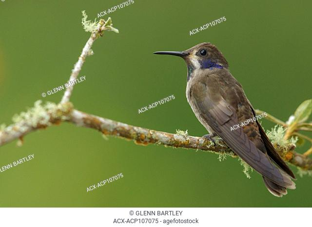 Brown Violetear Hummingbird (Colibri delphinae) perched on a branch in the mountains of Colombia, South America