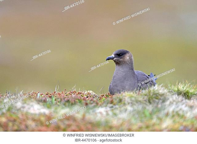 Long-tailed skua or long-tailed jaeger (Stercorarius parasiticus), dark specimen, Varanger, Norway