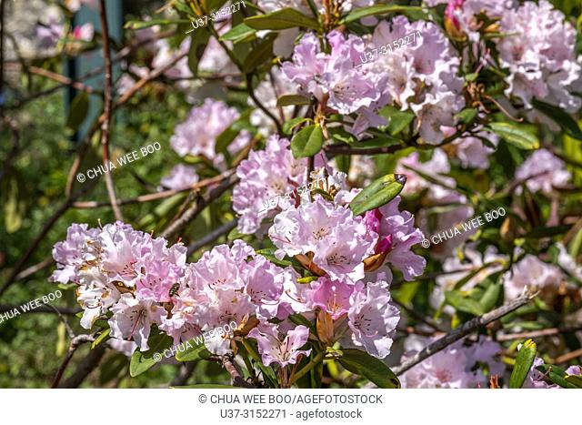 Flowers blossom in spring at Mt. Dandenong, Melbourne, Australia