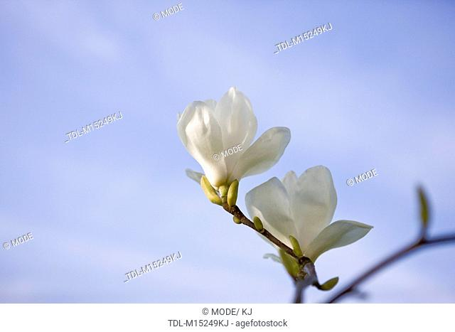 Two white magnolia flowers against a blue sky
