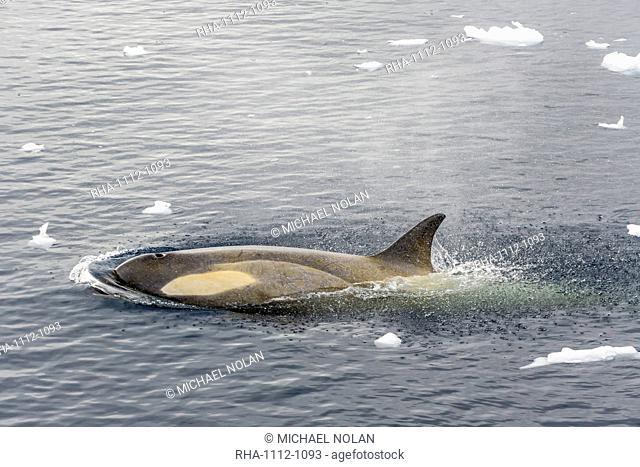 A small pod of Type B killer whales (Orcinus orca) in Neko Harbor, Andvord Bay, Antarctica, Southern Ocean, Polar Regions