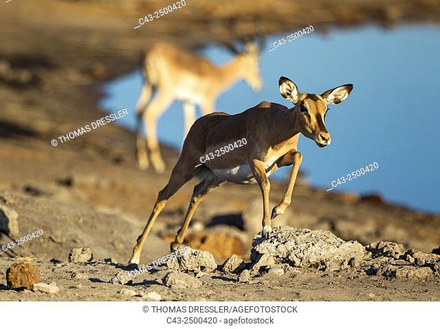 Black-Faced Impala (Aepyceros melampus petersi) - Running female near a waterhole. In the background another impala. Etosha National Park, Namibia