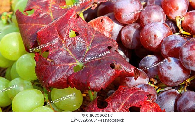 Vine Leaf and grape clusters with big juicy grapes after the harvest