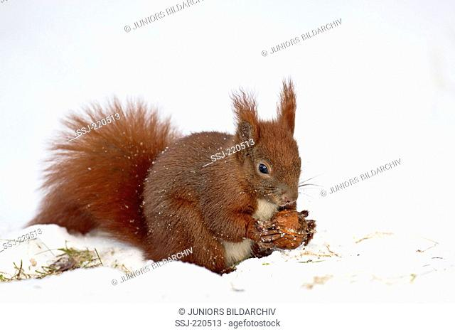 Red Squirrel (Sciurus vulgaris). Adult sitting in snow while eating a walnut. Germany