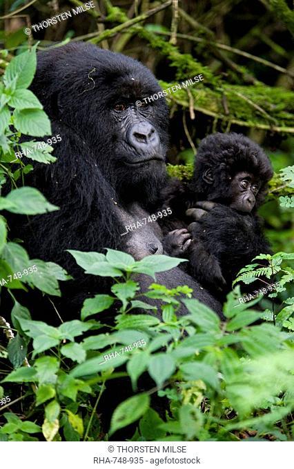 Mountain gorilla Gorilla gorilla beringei with her young baby, Rwanda Congo border, Africa
