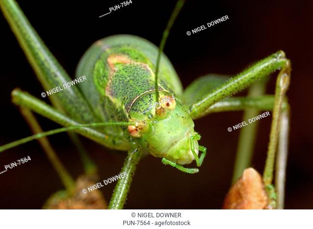 Close up of the head and mouth parts of an adult female Speckled bush cricket Leptophyes punctatissima in a Norfolk wood