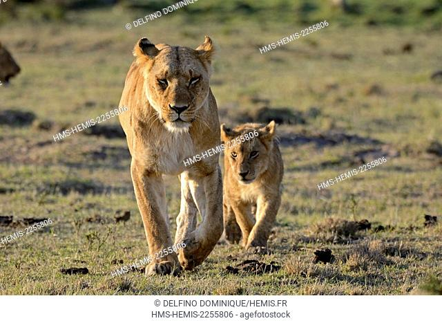 Kenya, Masai Mara Reserve, Lion (Panthera leo) Lioness with young lion on the savannah is déplcaçant