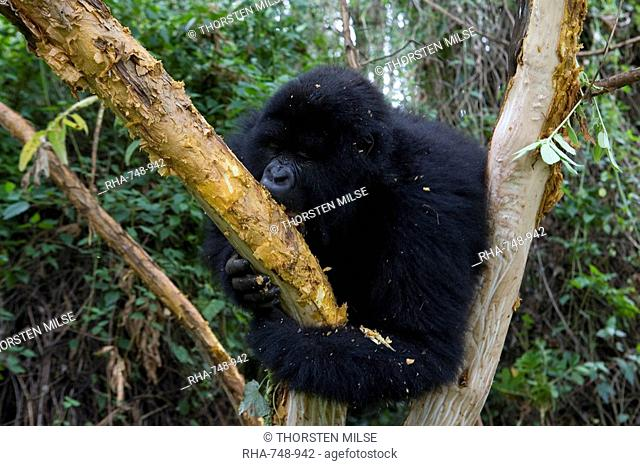 Mountain gorilla Gorilla gorilla beringei, Rwanda Congo border, Africa