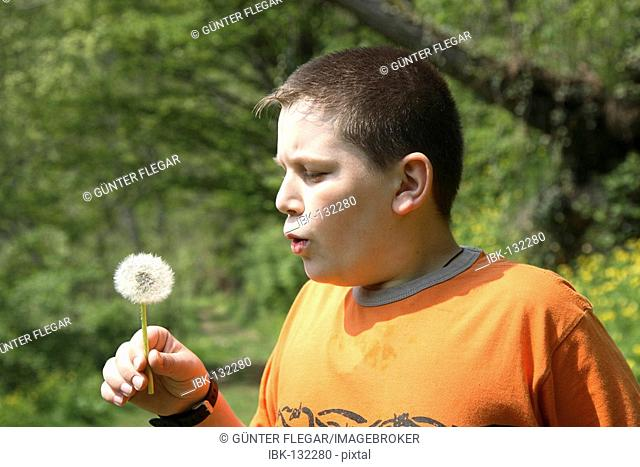 12-year-old boy plays with a dandelion, (Taraxacum officinale)