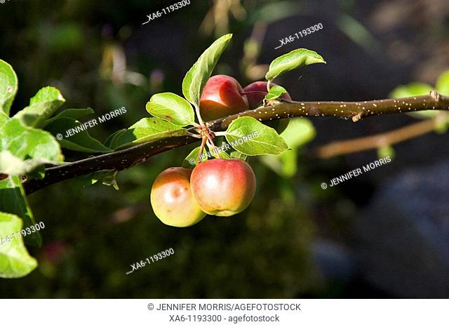 Crab apples on a branch in a sunny garden