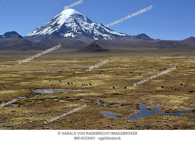 Sajama Volcano and llamas (Lama glama), Sajama National Park, Oruro, border between Bolivia and Chile