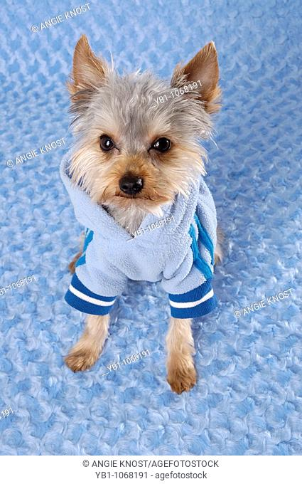 Yorkie dog wearing a hoodie or shirt