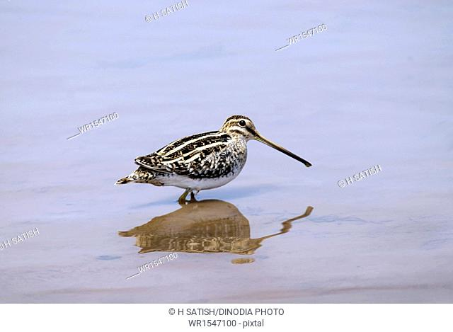 Common snipe Halagur in Bangalore at Karnataka India Asia