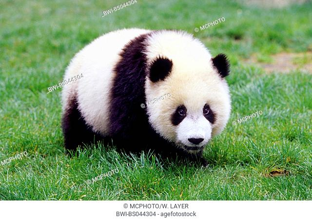 giant panda (Ailuropoda melanoleuca), eight months old panda in the research station of Wolong, national animal of China, China, Sichuan, Wolong