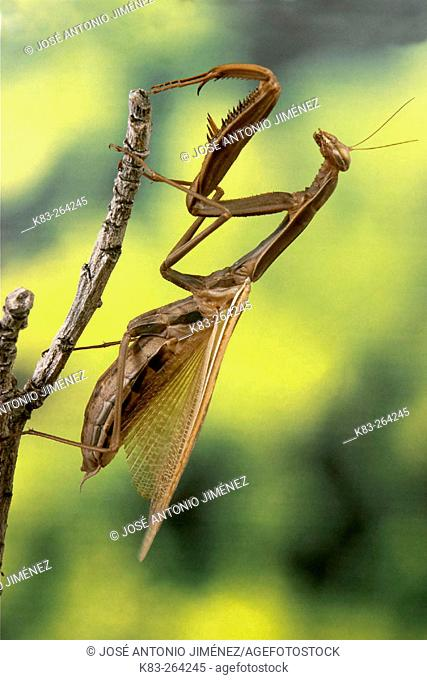Praying Mantis (Mantis religiosa), female
