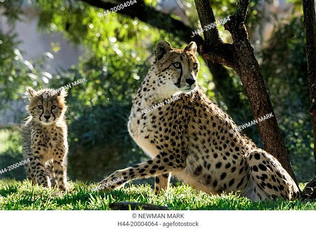 cheetah mother and cub, acinonyx jubatus