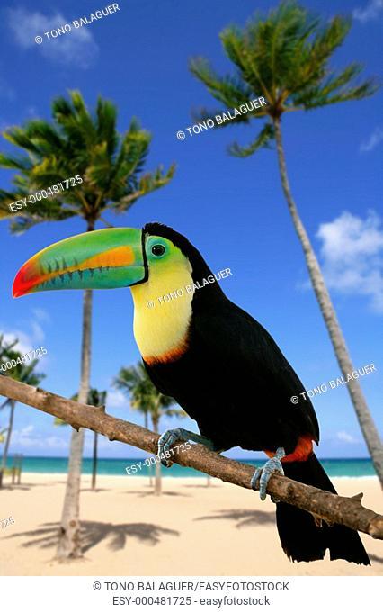Kee billed Toucan Ramphastos sulfuratus colorful Tucan bird