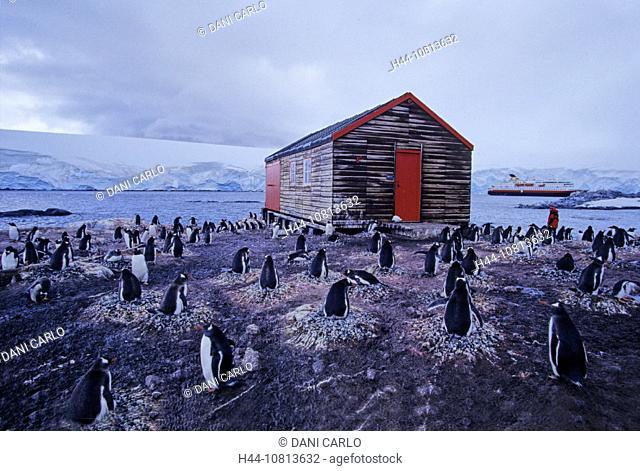 donkey penguin, Pygoscelis papua, nest, nests, breeding, penguins, penguin, birds, bird, animals, animal, port Lockroy